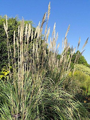 500 graines fraîches - Graines Plume graminée
