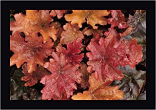 OR, Portland Foliage of Peach Flambe heuchera by Steve Terrill 28