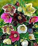 Portal Cool 100Pcs Helleborus Elleboro Semi di Natale Fiore della Rosa di Crescere in Fiore Inverno