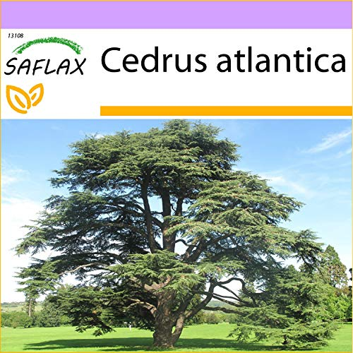 SAFLAX - Cèdre de l'Atlas - 20 graines - Cedrus atlantica