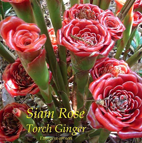~ Siam Rose ~ Etlingera corneri TORCH GINGER 10 graines spéciales RARE Collector