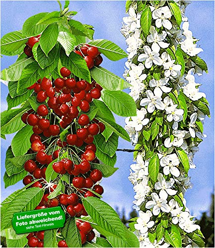 BALDUR Garten Säulen-Süßkirschen \'Sylvia®\', 1 Pflanze, Kirschbaum, Säulenobst