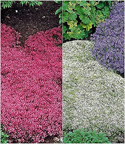 BALDUR Garten Winterharter Bodendecker Thymian-Kollektion rot und weiß 6 Pflanzen Thymus Polsterthymian Thymian Pflanzen winterhart
