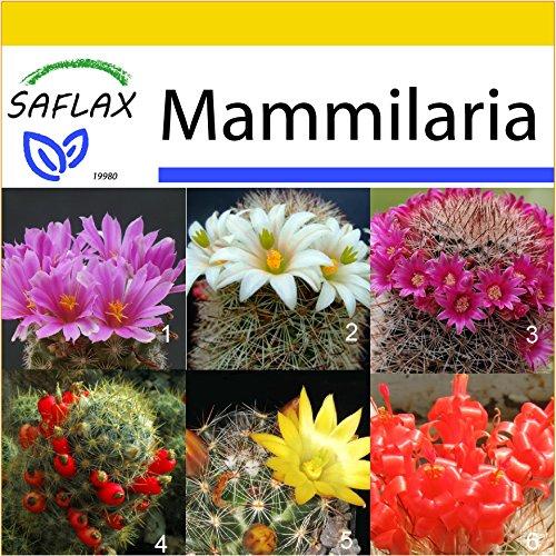 SAFLAX - Anzucht - Set - Kakteen - Mammilaria Mischung (Mammilaria) - 40 Samen - Mit Gewächshaus, Anzuchtsubstrat und Töpfen