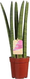 Planta de interior – Sansevieria Cylindrica – Altura: 40 cm