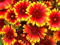 Non GMO Bulk Annual Gaillardia Blanket Flower Seed -Gaillardia pulchella