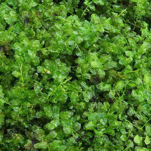 (観葉植物)苔 コツボゴケ 1パック分