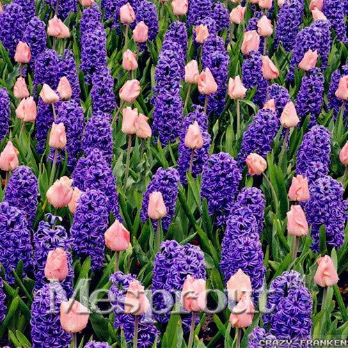 HONIC New Gartenhyazinthe Bonsai Günstige Hyacinth Bonsai, Hyazinthen Topf Bonsai, Bonsai Balkon Blume für Hausgarten-50PCS: 5