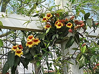 bignonia capreolata tangerine beauty crossvine