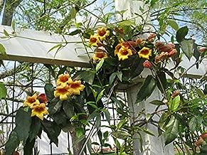 Bignonia capreolata Tangerine Beauty Crossvine Pint plant