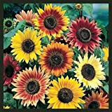 Sunflower Seeds for Planting | Autumn Beauty Non-GMO Sunflower Seeds | Planting Packets Include Planting Instructions