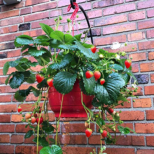 Xianjia Garten - Erdbeer samen pflanze Hängeerdbeere aromatische mittelgroße Früchte, Obstsamen Bodendecker Duft-Erdbeere Saatgut winterhart mehrjährig (50)