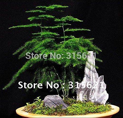 Graines Shiping gratuites asparagus Green Family végétales 50bags / lot gros 300pcs