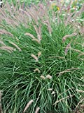Perennial Farm Marketplace Pennisetum o. 'Karley Rose' (Oriental Pink Fountain) Ornamental Grass, Size-#1 Container, Rosy-Mauve Blooms