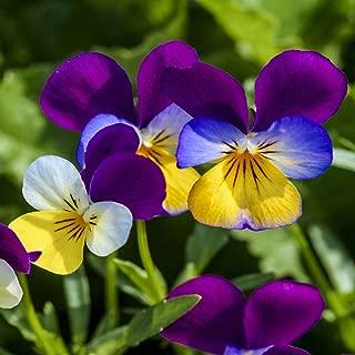 viola seeds