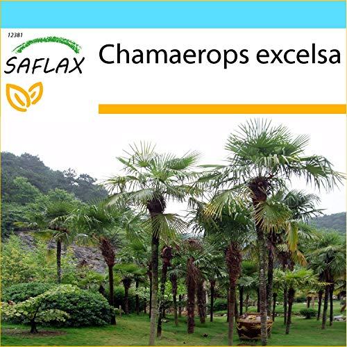 SAFLAX - Kit cadeau - Palmier à chanvre - 10 graines - Chamaerops excelsa