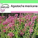SAFLAX - Garden to Go - Toronjil morado - 50 semillas - Con macetero de barro, platillo, sustrato para cultivo y fertilizante - Agastache mexicana