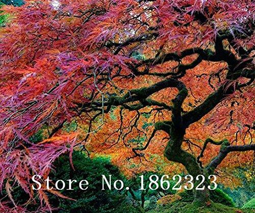 Chaud! 30+ américains Graines d'arbres d'érable grandes plantes Bonsai Graines