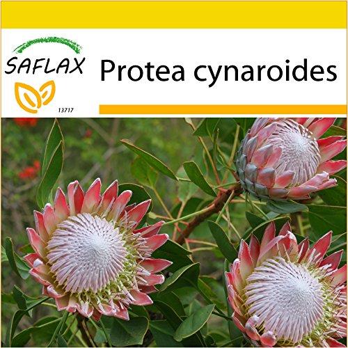SAFLAX - Anzucht Set - Königsprotea - 5 Samen - Mit Mini-Gewächshaus, Anzuchtsubstrat und 2 Töpfen - Protea cynaroides