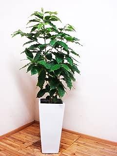 ロングスクエア陶器鉢仕立てのワンランク上のコーヒーの木 /120cm前後(9号)