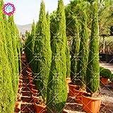 20PCS / Bolsa Cipreses Semillas Semillas de conífera Bonsai Perenne Planta de tiesto del jardín de DIY