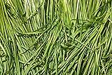 7,78 g BIO-Knoblauch-Schnittlauch-Samen ~ 1750ct asiatisches Gemüse ~ Korean Buchukimchi