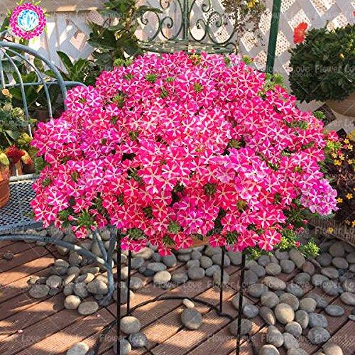 Graines de Purple rares 50pcs Verveine, Verveine HORTENSIS, Verveine Hybrida Rare Bonsai Graines de fleurs Plantes d'intérieur balcon pour jardin 5