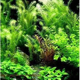 Mühlan Aquarienpflanzen Sortiment 40-60 l