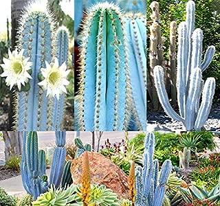 BIG PACK - (200) Pilosocereus BLUE RARE Cactus Mix - CACTUS Seeds GORGEOUS BLUE - Excellent For Greenhouse Or As House Plants - FRESH CACTUS SEEDS - By MySeeds.Co (Pilo. Blue Mix - BIG PACK)