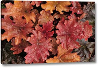 OR, Portland Foliage of Peach Flambe heuchera by Steve Terrill - 22