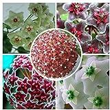 Hoya Semillas, Seed maceta de flores, semillas completa variedad Hoya carnosa 100 partículas/Bolsa por tantarashop