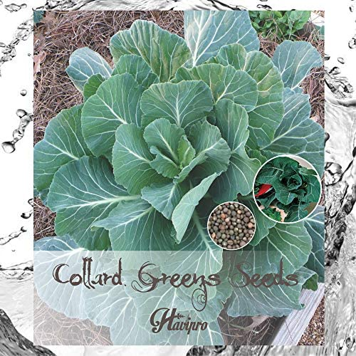 ALEXI Collard Green Seeds Non GMO Collard Greens Seeds for Planting Home Garden Outdoors Heirloom product image