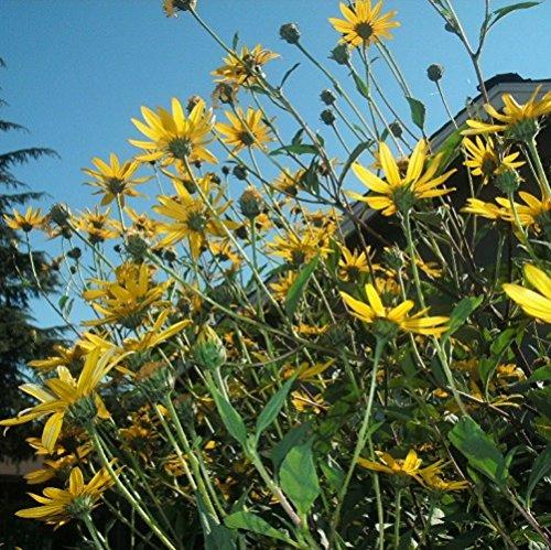 8 Oz of Helianthus Tuberosus - Sunchoke Tubers. Native Root Vegetable with Sunflower Like Blooms!