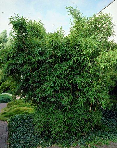 100 semillas de Rare Fresh Paraguas de bambú (Fargesia spathacea Franch)