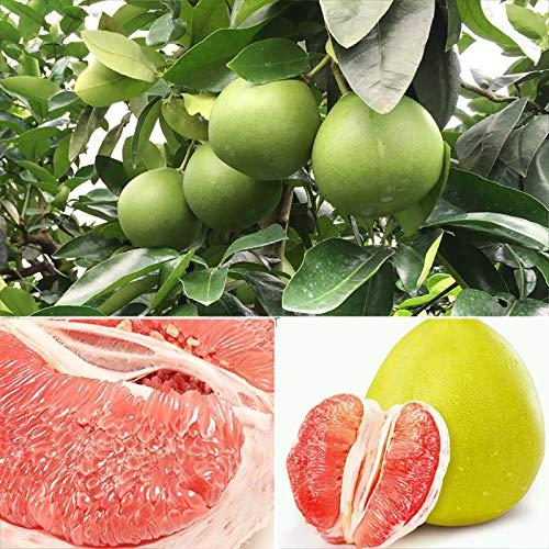 1 Bolsa De Semillas De Pomelo Rojo La Granja Es Una Semilla De Fruta Viable Natural Y Productiva Semillas de pomelo rojo