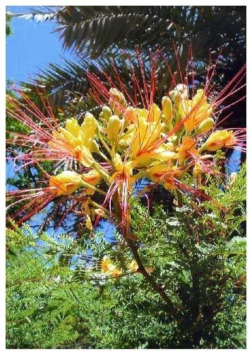 TROPICA - Arbuste de paon (Caesalpinia gilliesii x spinosa) - 15 graines- Résistant au froid