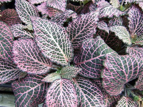 """Pink Veined Nerve Plant – Fittonia – Easy House Plant – 4"""" Pot"""