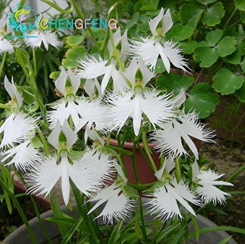 Monde & Rare Les Fleurs de Graines Radiata japonais 2015 VENTE CHAUDE Pour Garden & Home Plantation Livraison gratuite Fleurs Blanches spéciales