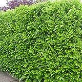 """Prunus laurocerasus """"Rotundifolia"""" (Lauro) [Vaso Ø18cm]"""