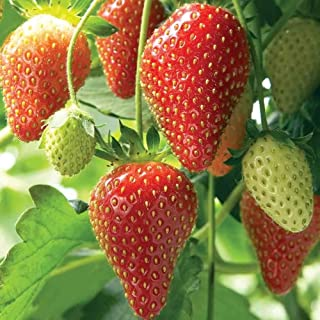 organic strawberry seeds