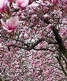 1 Ann Magnolia Shrub Tree 8-16' BV