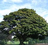 NurseryNature Ashoka Tree (Round) Plants 3 ft Please Check Seller Name to be NurseryNature all other sellers are fake
