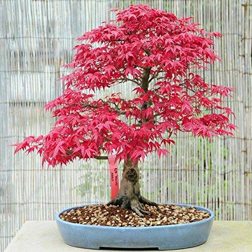 C-LARSS 30Pcs Semi di Albero di Acero Rosso, Pianta da Vaso Bonsai da Interno da Giardino