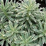 Euphorbia characias 'Silver Swan' Herbaceous Perennial Evergreen Shrub   9cm Pot