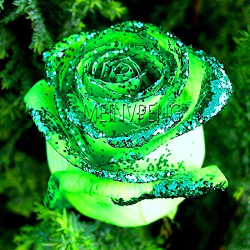 Generic Fresh 100pcs Rose Flower SEEDS para plantar verde blanco