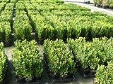 100 Buchsbaum Pflanzen im Topf