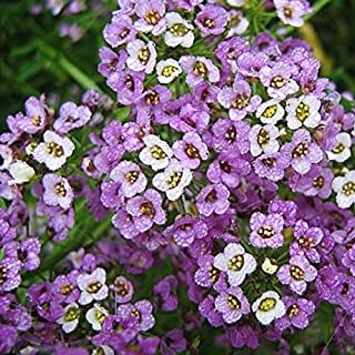 David`s Garden Seeds Flower Alyssum Royal Carpet 1238 (Multi) 500 Non-GMO, Heirloom Seeds