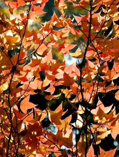 Seedeo Formosa Amberbaum (liquidambar formosanum) 50 Samen