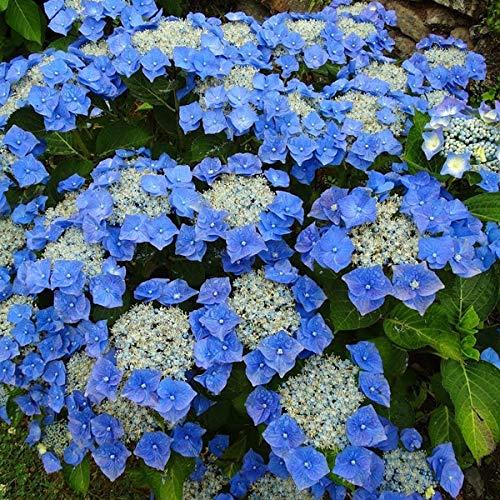 Hydrangea 'Teller Blue' - Tellerhortensie 'Teller Blue' 40-60 cm Pflanzcontainer