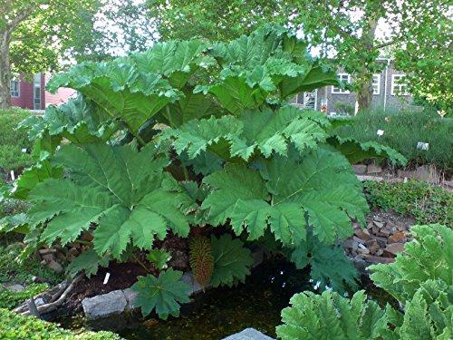 5 Samen von Mammutblatt Riesen-Blätter